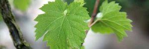 7 Khasiat Daun Anggur untuk Kesehatan
