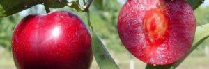 13 Khasiat Buah Plum Merah untuk Kesehatan