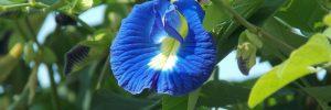 7 Manfaat Bunga Telang untuk Kesehatan